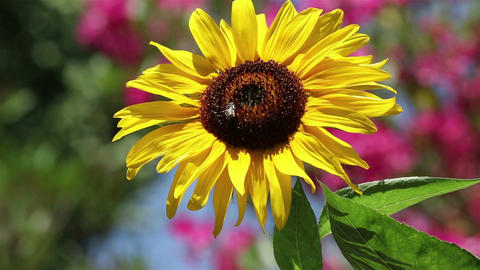 Timelapse of a bee on a sunflower Live Action