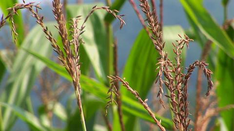 Corn stalks grow in a field Stock Video Footage