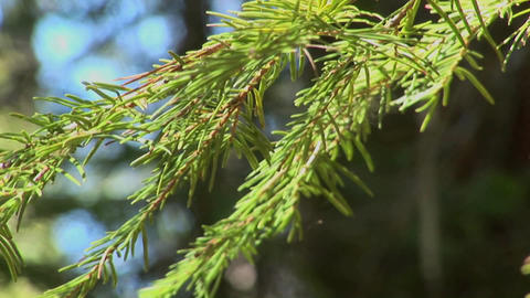 Tree branches sway in a Lake Tahoe forest located in the... Stock Video Footage