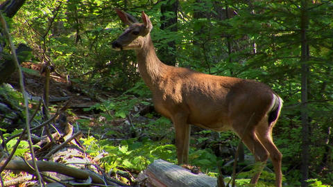 A deer in a forest at day Stock Video Footage