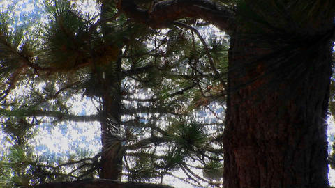 An area of the Sierra Nevada mountains sparkles through the branches of pine trees in Lake Tahoe Footage