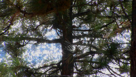 Sunlight sparkles on water in Lake Tahoe behind a tall evergreen tree in the Sierra Nevada mountains Footage