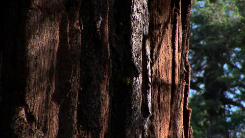 The bark of a pacific oak grove tree in sunlight at Yosemite National Park Footage
