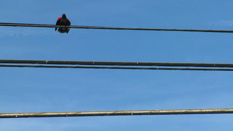 A redwing blackbird sits on a power line Stock Video Footage