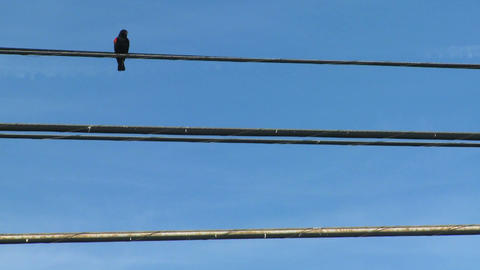 A redwing blackbird sits on a power line Footage