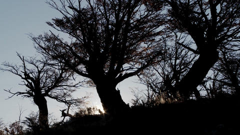 Silhouetted giant dark trees in a forest Stock Video Footage