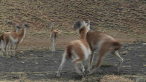 Guanacos fight in a mating ritual in the Andes mountains... Stock Video Footage