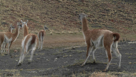 Guanacos fight in a mating ritual in the Andes mountains of Patagonia Footage