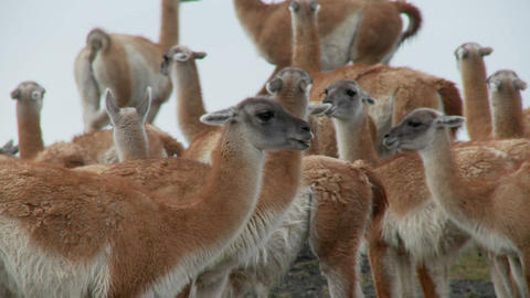 Guanacos cluster together for warmth in the Andes... Stock Video Footage