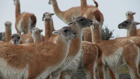 Guanacos cluster together for warmth in the Andes mountains, Patagonia. Torres Del Paine Footage