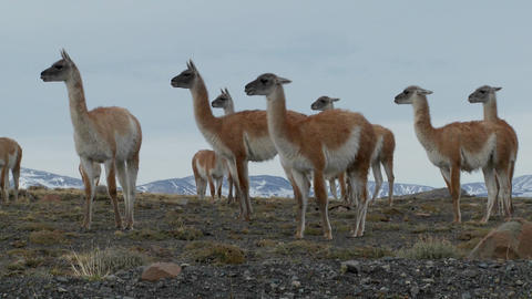 Guanacos stand together in formation in the Andes... Stock Video Footage