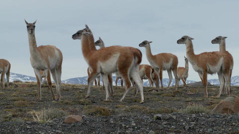 Guanacos stand together in formation in the Andes mountains, Patagonia Footage