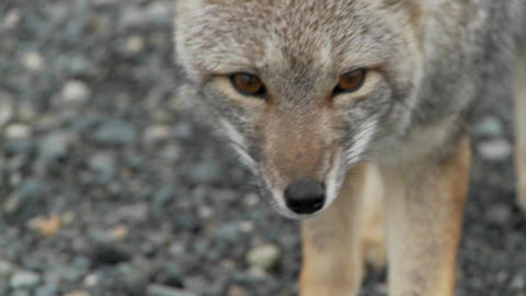 A small fox in the Patagonia region of Chile, Patagonia Stock Video Footage