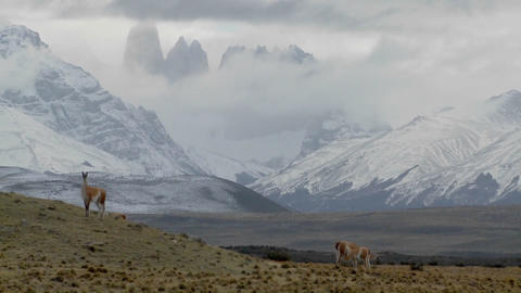 Gorgeous guanaco llamas walk across an open plain in Argentina with the Andes in the background, Tor Footage
