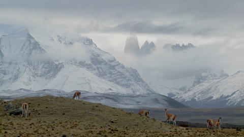 Guanacos stand together in formation in the distance in the Andes mountains, Patagonia, Torres Del Footage