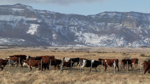 Cattle graze in the fields on a ranch with snowy mountains background Footage