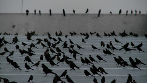 Pan across many black birds sitting in a parking... Stock Video Footage
