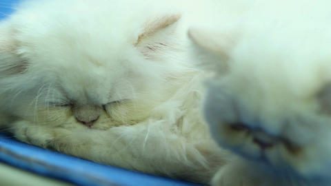 Two white Persian cats sleeping Live Action