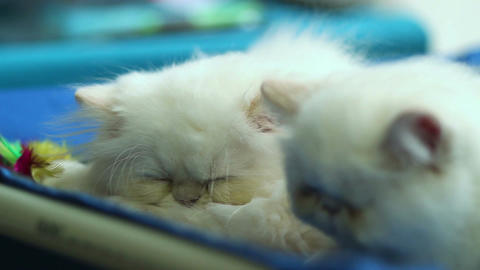 Two cute white cats sleeping Live Action