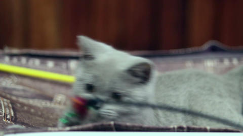 Plush British kitten tries to catch toy Live Action