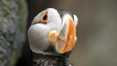 Puffin Seabird In Wild Footage