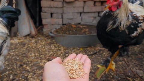 Wheat in a human hand. Peck grain. Slow motion ライブ動画