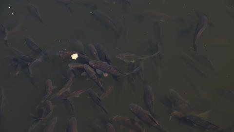 carp fish feeding in fresh water pond Live Action