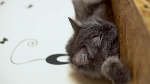 Maine Coon cat is sleeping. Gray cat sleeps on the closet closeup. Vertical Live Action