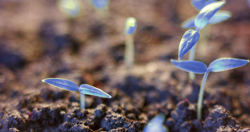 Futuristic world, growing blue plant from the ground, germination process Live Action