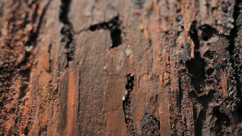 Bark in dead forest destroyed by wood worm in National Park. Wood affected with woodworm Live Action