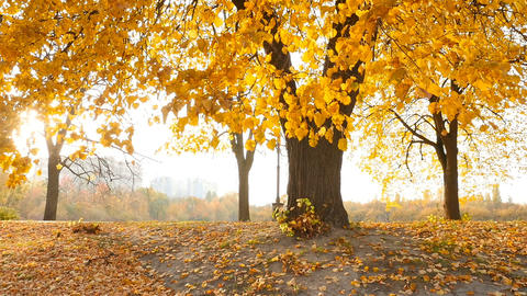 The bright rays of the sun shine through the yellow leaves of the trees. People Live Action
