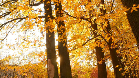 Rays of the sun shine between the trees. Autumn forest with yellow foliage Live Action