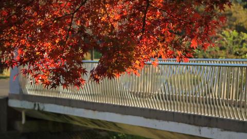 紅葉-秋-橋-樹木-自転車/武蔵野公園-野川(現場音あり)-Fix ビデオ