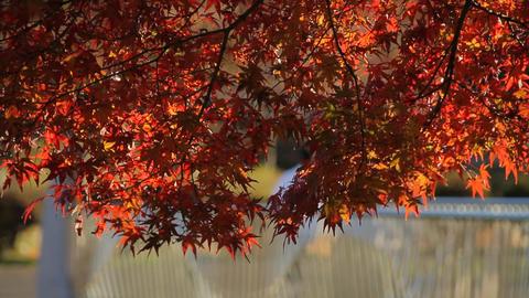 Bridge / Autumn Leaves / Fall Colors - Musashino Park (Tokyo, Japan) - Field Rec Footage