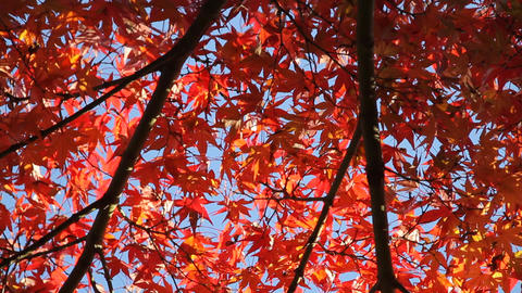 Autumn Leaves / Fall Colors / Backlight, - Musashino Park (Tokyo) Footage