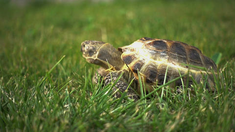 Turtle Feeding on Grass Footage
