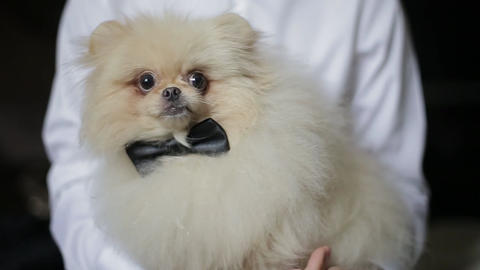 Close-up shot of cute white spitz with a black bow held by a man in white shirt Live Action
