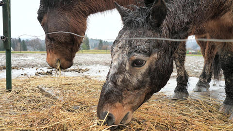 Stripped and gray dotted brown pony graze dry hay behind wire of electric fence. Rainy day in horse Live Action