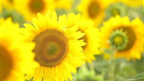 Sunflower field, backlit Footage