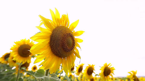 Sunflower field, backlit. closeup Footage
