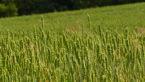 4K Ungraded: Farming Field / Wheat Grass / Wheat Ears Footage