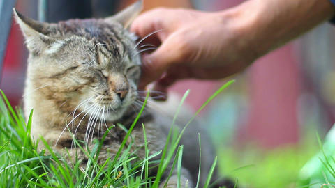 Hand awakes and pets adorable domestic cat lying on grass Footage