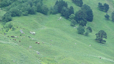 Livestock grazing in mountain pasture, green valley timelapse Footage
