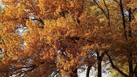 Autumn leaves on the oak trees Footage