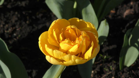 Yellow tulips and morning dew Footage