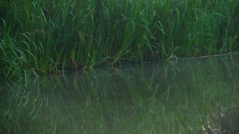 Before dawn. Fog above water, green grass near forest river Footage