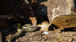 Snake in the wild, Wildlife shot, Dangerous Grass-snake on Wood Live Action