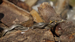 Snake in Nature, Wildlife shot, Dangerous Grass-snake on Wood Live Action