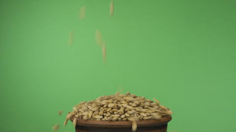 Barley grains fall into a crowded clay bowl and fall out of it. Isolated on a Live Action