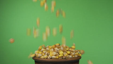 Corn grains fall into a crowded clay bowl and fall out of it. Isolated on a Live Action